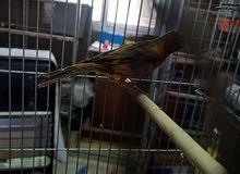 طيور كنارات فلت للبيع ( اقرأ الوصف)