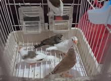 طيور الموندارا mandarin
