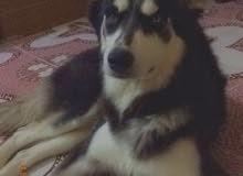 كلب هاسكي العمر سنة و اربع اشهر عينة لونين نوعة ابو صليب السعر 300