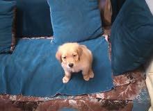 كلب جولدن بيور للببع