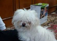 كلب زينه نثيه للبيع  نوع  تير ير شيرازي