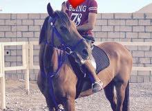 حصان هجين