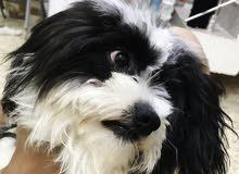 كلب تيرتر للبيع 100 الف
