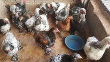 دجاج براهما عملاق وبراهما سبرايت للبيع العدد 19