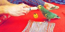 للبيع فلوفريند عمره ثلاث شهور ونص صحة ممتازة و نظيف الطير و ربوه و يناغي