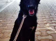كلب جيرمن أصلي بيور للبيع