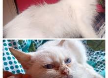 قطتين شيرازي جمال جدا للتبنى