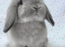 مطلوب أرنب (هولاند لوب) صغير بسعر كويس