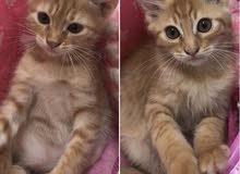 4 قطط للبيع امريكي شعر قصير الحاله الصحيه ممتازه