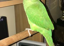 indianring neck parrot forsale tamed