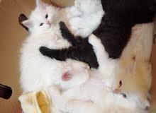 قطط عمر شهرين وشويه شيرازي. الام والاب بيور