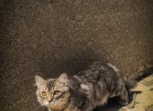 قطط سيبيري للبيع