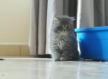 قطة شيرازي. للبيع