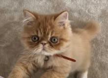 ابحث قطه للتبنى i want to adapt a cat