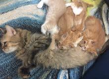 قطط شيرازي للبيع عدد 6 قطط