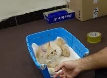 قطة أنثى شيرازية للبيع