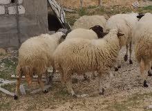 خروف وطني تلوتي