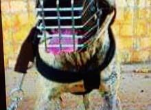 كلب بيتبول امريكي للبيع او تبديل بانثى مينوا