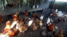 دجاج هولندي للبيع