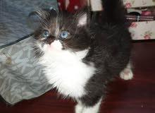 قطه انتى للبيع في عدن