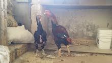 طقم باكستاني ديك ودجاجه