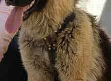 كلب جرمن شيبرد بيور