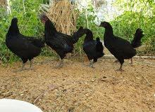 للبيع دجاج اندونيسي الاسود