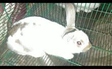 ارانب تربيه بيتى