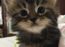 قطط صغيرة شيرازية للحجز