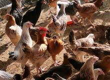 Medium size local chicken (hen). دجاج محلي متوسط الحجم (دجاجة).