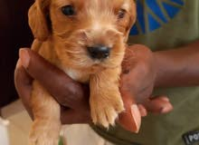 Coker spaniel puppies for sale