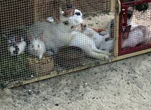 أرانب للبيع في راك