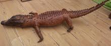 تمساح محنط للبيع