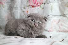 Scottish fold kitten available in dubai