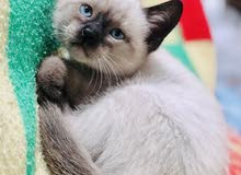 قطط سيامي حرة للبيع الدار البيضاء