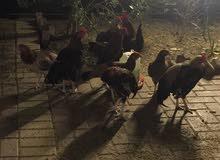 دجاج عربي حجمه كبير