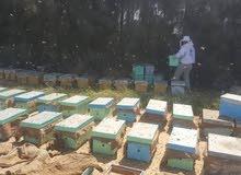 بيع طرود النحل