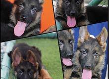 german shuber puppise 4 sale
