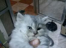 قطه شيرازي عدن المعلا