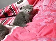 قطه اسكوتش فولد بيور رمادي