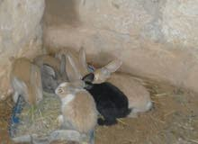 أرانب نوع جامبو      عدد 6