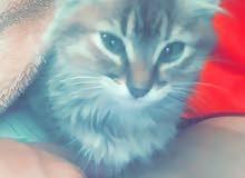 Cat maine coone