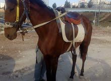 حصان لون أحمر أصيل