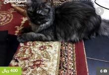 قطه شيرازي أمريكي انثي
