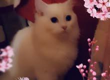 قطط شيرازية وهملايا للبيع العمر شهرين ونصف