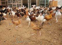 دجاج عمر شهرين ونصف بصحة ممتازة للبيع