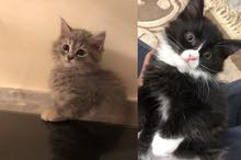 Scottish x Persian Kittens 2 months 1500 Each