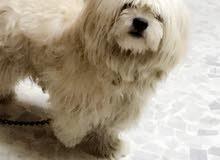 كلب فرنسي