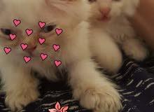 قطط صغيرة فارسيه