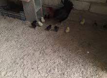 دجاج تحتها 10فلاليس